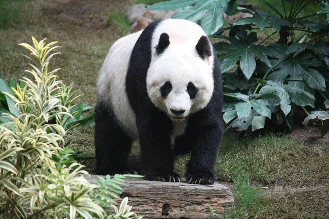 Panda Wielka w Szanghaju