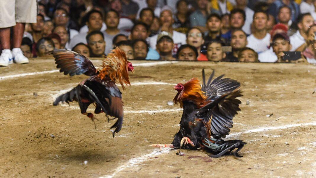 Walki kogutów na Filipinach
